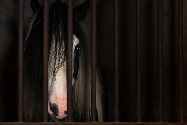 Hoarison - cavallo